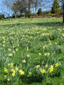 Holehird Daffodils