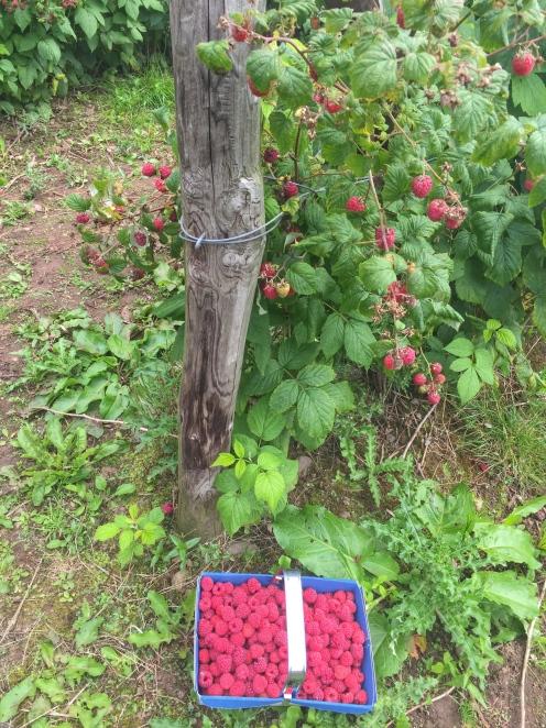 Raspberry field Rowley Estate
